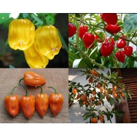 PÁLIVÉ CHILLI PAPRIČKY HABANERO RED,YELLOW,ORANGE /3 X 10 SEMEN/