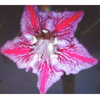 ADENIUM OBESUM DANCE OF BUTTERFLY /5 semen/